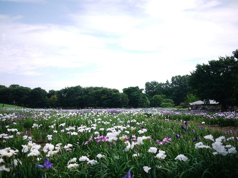 10万株の花菖蒲と北海道を満喫!札幌「八紘学園 花菖蒲園」