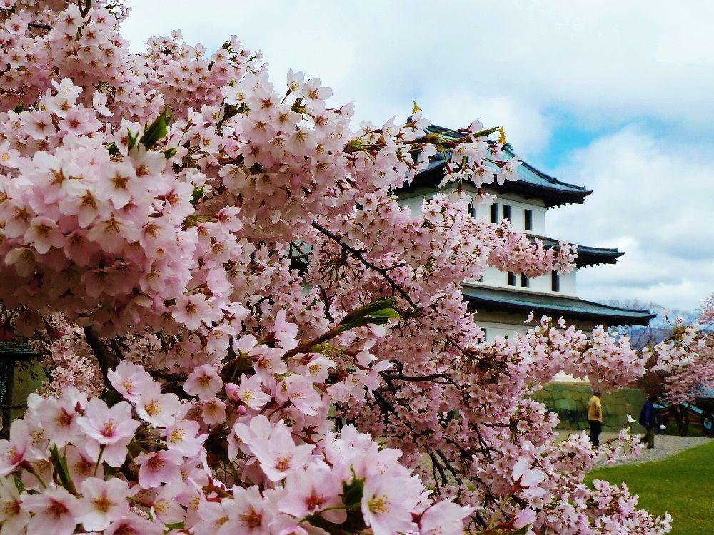 桜花爛漫!北海道「松前城/松前公園」に咲く250種一万本の桜!!
