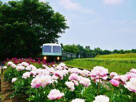 美しき初夏の風物詩!芍薬の花畑広がる札幌市・百合が原公園|北海道|Travel.jp[たびねす]