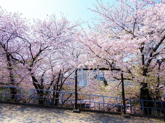 ホームでは桜がお出迎え!ピンクに染まる春のJR南小樽駅