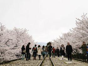 京都の桜は平安神宮周辺がおすすめ!蹴上インクライン・十石舟を楽しむのんびりお花見