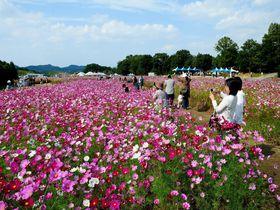 秋の行楽は、コスモス100万本が咲き乱れる花公園で!! 山口「リフレッシュパーク豊浦」
