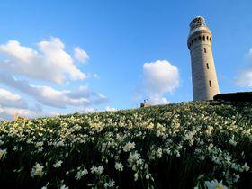 灯台とのコラボは格別~ 冬の「角島」はスイセンが綺麗!!