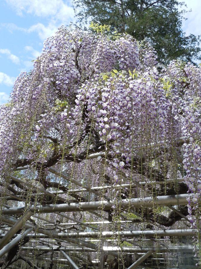 まるで花のシャワー!?伊東市「林泉寺」希少な藤は一見の価値あり!
