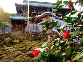 松山の椿の秘密に迫る!『椿神社』で有名な『伊豫豆比古命神社』