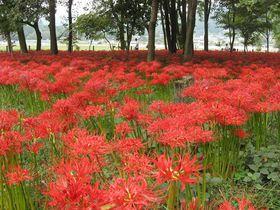 真っ赤な絨毯、巾着田の曼珠沙華