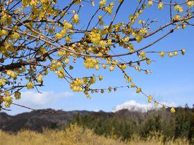 早春を告げるイエロー。群馬・ろうばいの郷で一足早い春探し|群馬県|Travel.jp[たびねす]