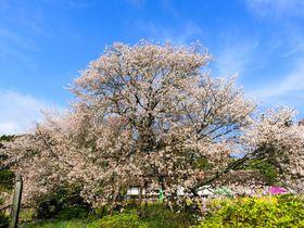 国内最古の山桜!富士宮市・日本五大桜の「狩宿の下馬桜(駒止の桜)」|静岡県|トラベルjp<たびねす>