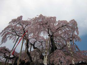 千年の時を語りつぐ日本三大桜「三春の滝桜」と三春町周辺の桜めぐり
