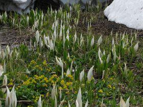 湿原に広がる、黄色と白の花のじゅうたん!長野・斑尾高原