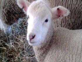 小岩井農場に羊の赤ちゃんを見に行こう!――岩手県雫石町
