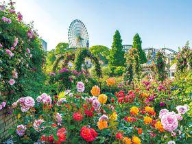 大阪のバラの名所は遊園地!ひらパー『ローズフェスティバル』