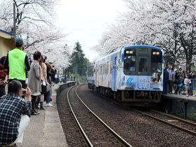 のと鉄道を彩る満開の桜トンネル!~能登さくら駅~