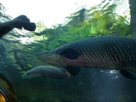 ギョギョ!世界最大の淡水魚ピラルクーが目前に!生きているウニに触れる「なかがわ水遊園」栃木県大田原市