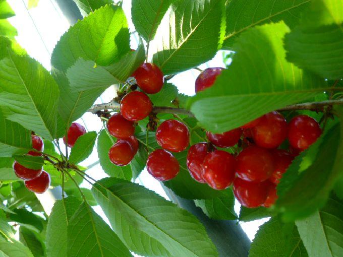 生産量日本一の山形・東根でさくらんぼ狩り「神町観光果樹園」完熟の赤い宝石と無料そば