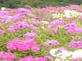 これぞ天空の花園!あばしりフロックス公園はオホーツクの新名所|北海道|[たびねす] by Travel.jp