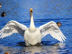『白鳥の湖』状態♪オオハクチョウの天国「羽田沼」大田原市|栃木県|[たびねす] by Travel.jp