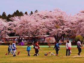 愛犬OK!満開の桜に温泉・グルメを満喫、那須「千本松牧場」