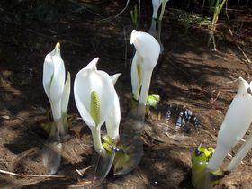 はるかな尾瀬~♪四季折々の高山植物を楽しむハイキング