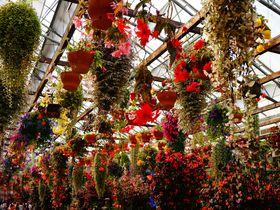 ベコニアのカーテンで心も満開に!花と鳥の王国「富士花鳥園」|静岡県|[たびねす] by Travel.jp