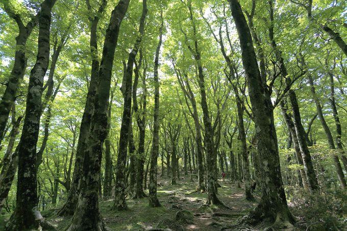 日本百名山のブナ原生林群!静岡...