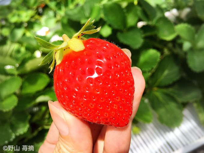青森で夏秋いちご狩り!「アグリの里おいらせ」ですずあかねという名の苺を頬張ろう!