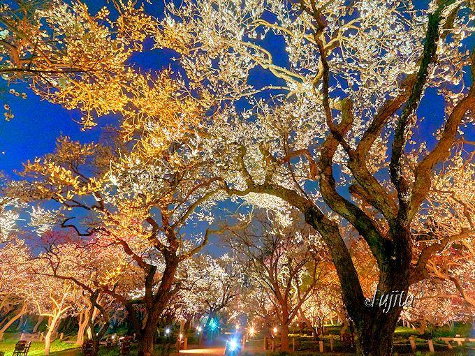 ライトアップが絶景すぎる!偕楽園「水戸の梅まつり」の見頃は3月中旬