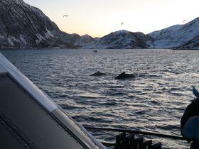 迫力満点!ノルウェー・トロムソ極夜のホエールウォッチング