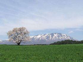 孤高の一本桜はGWが見頃!絶景の岩手山と小岩井農場一本桜 岩手県 [たびねす] by Travel.jp