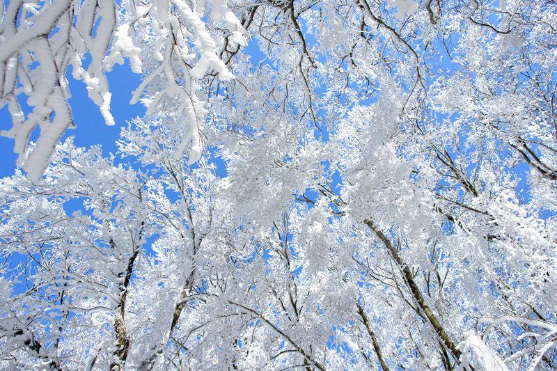 ブナの原生林の霧氷と雪原を楽しもう!愛媛「皿ヶ嶺」