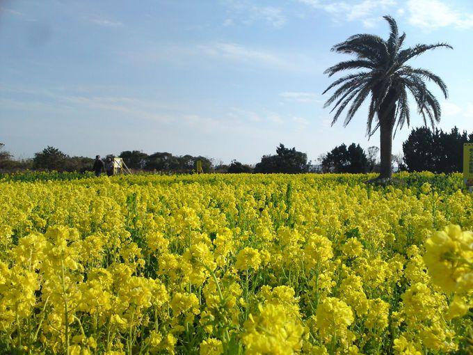 「渥美半島 菜の花まつり」で春を先取り!黄色一色に染まる菜の花畑は圧巻!