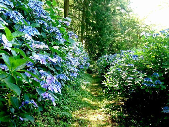 紫陽花が彩る風情ある散歩道!信州上田塩田平「あじさい小道」