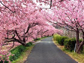 南伊豆町「みなみの桜と菜の花まつり」・河津桜と菜の花の絶景の巡り方