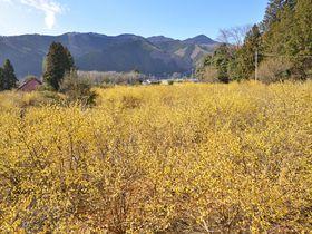 早春の里山を彩る黄金の花園「上永野・蝋梅の里」栃木県で最大の蝋梅園|栃木県|トラベルjp<たびねす>