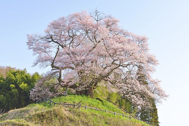 群馬県を代表する一本桜「発知のヒガンザクラ」山里に春を告げる銘桜