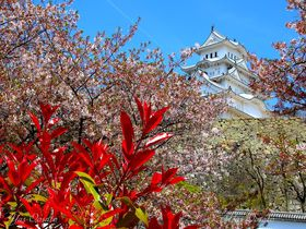 世界遺産・国宝の姫路城は春がお勧め!桜と純白の城
