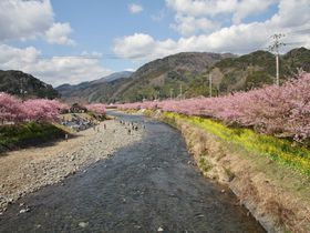 春を先どり!河津桜と菜の花じゅうたんが彩る河津と南伊豆を巡る旅|静岡県|トラベルjp<たびねす>