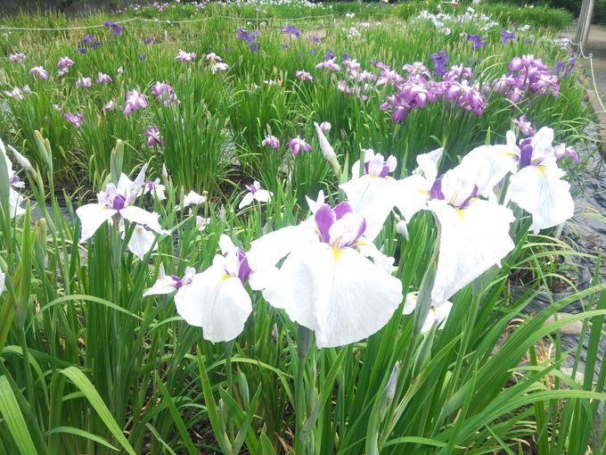 信仰の里 福島県会津美里町で「あやめ苑」&名物桜ホルモン