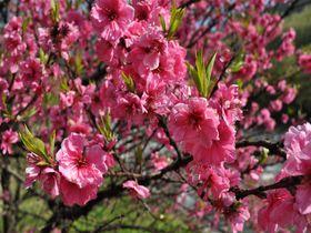 春はハナモモの季節デス!長野県・昼神温泉郷散歩!