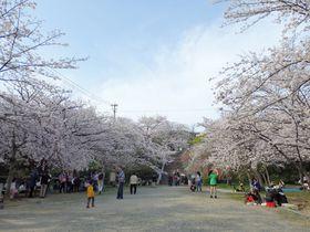 桜といえばやはりここ!福岡きってのお花見スポット・西公園|福岡県|[たびねす] by Travel.jp
