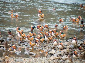 オシドリがいっぱい!約1000羽が飛来する町「鳥取県日野町」