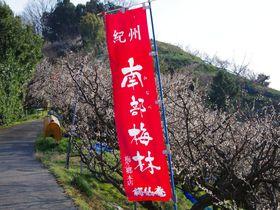 「一目百万 香り十里」和歌山・南部梅林は日本最大級!