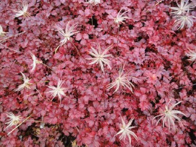 [高山植物]秋は真っ赤な絨毯にふわふわ綿毛の風ぐるま