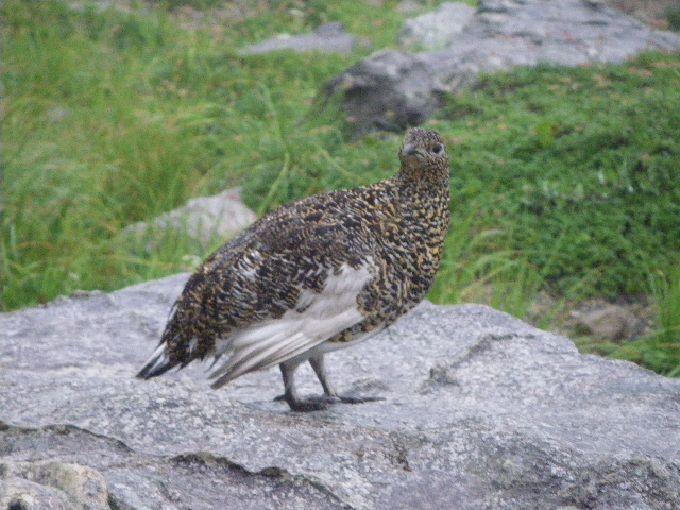 [雷鳥]立山へ特別天然記念物ライチョウに会いに行こう
