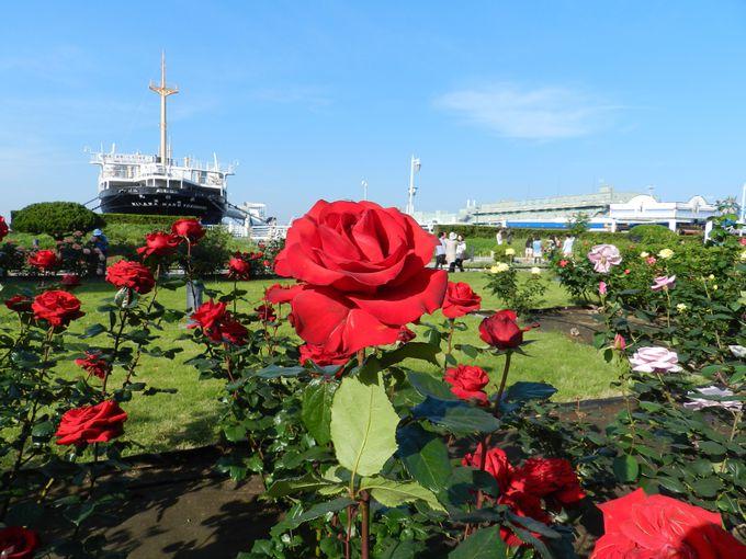 英国式庭園に咲く初夏のバラ「山下公園(横浜)」