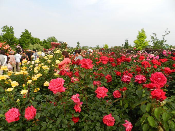 """バラと宿根草の""""混植""""が描く花景観「花菜ガーデン(神奈川)」"""