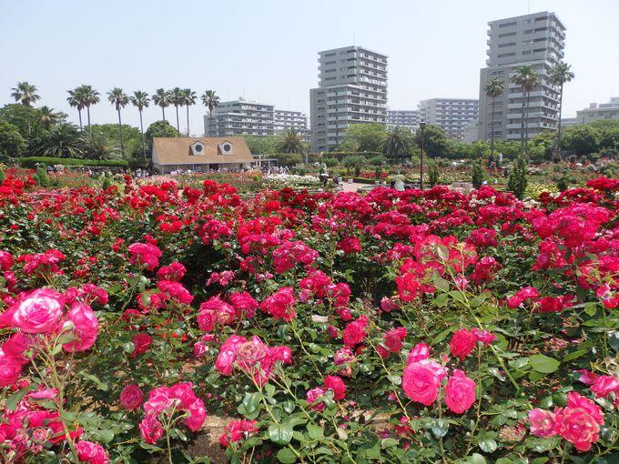 ゴージャスな薔薇で溢れる夢空間「谷津バラ園(千葉)」