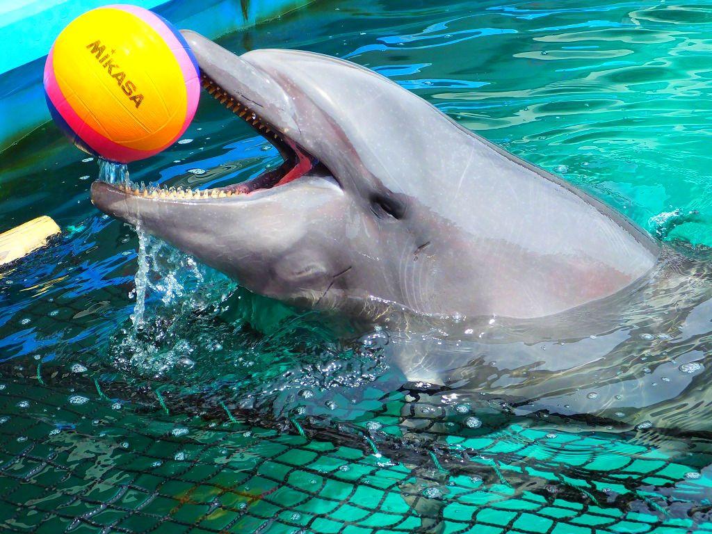 プールにいる「イルカ」が突然ボールを投げて来ます!