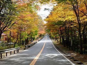 秋の軽井沢へと続く国道146号線の色とりどりの紅葉のトンネル!