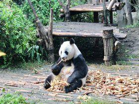 赤ちゃんパンダに会う旅の拠点に!「成都ウォルドルフ・アストリア・ホテル」